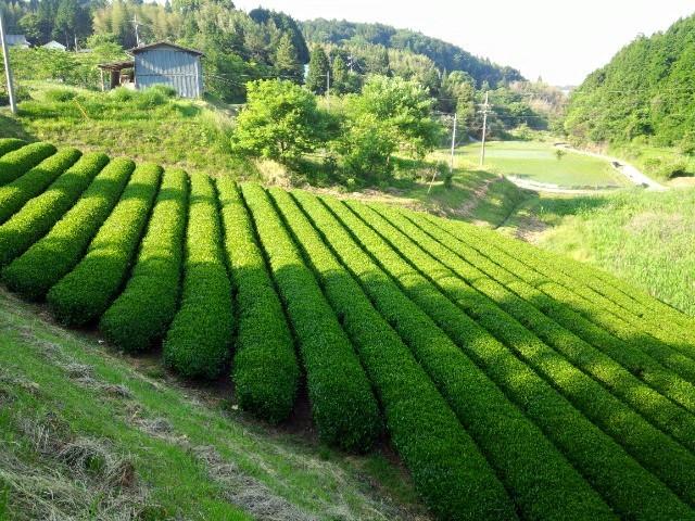 美しい茶畑の風景をいつまでも