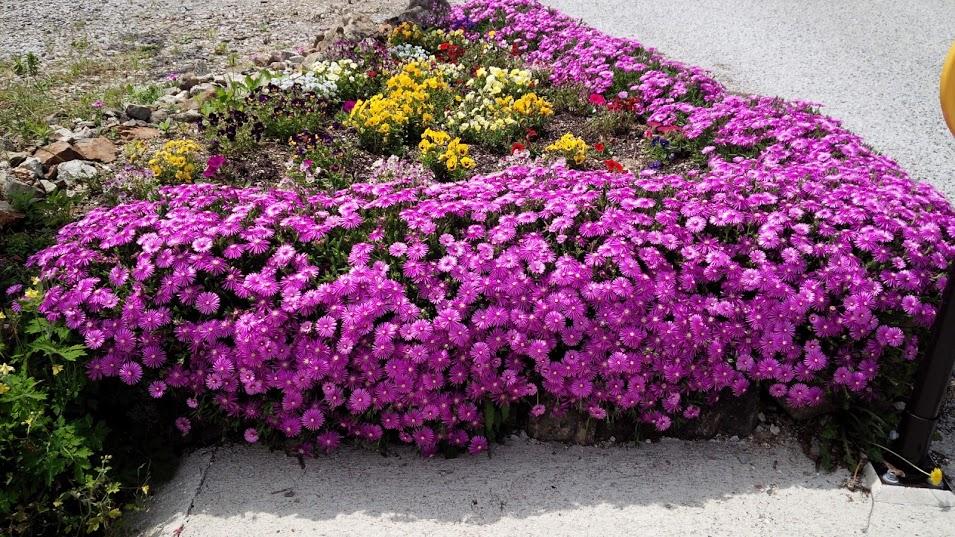 吹屋にはこんな花が咲いています