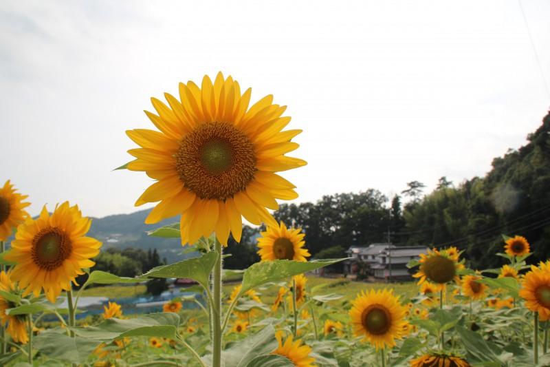 夏はひまわり畑、春は菜の花畑がお出迎え。地域で管理、イベントの運営をしている
