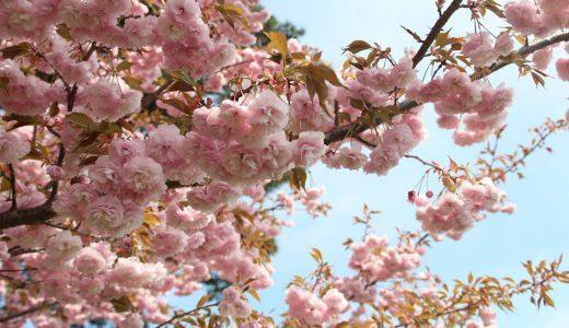 もうすぐ開花 たかうね桜の森公園