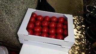 藤田さんの作っているトマト。皆で食べたそうですが後述の理由により筆者はひとり家で食べました。